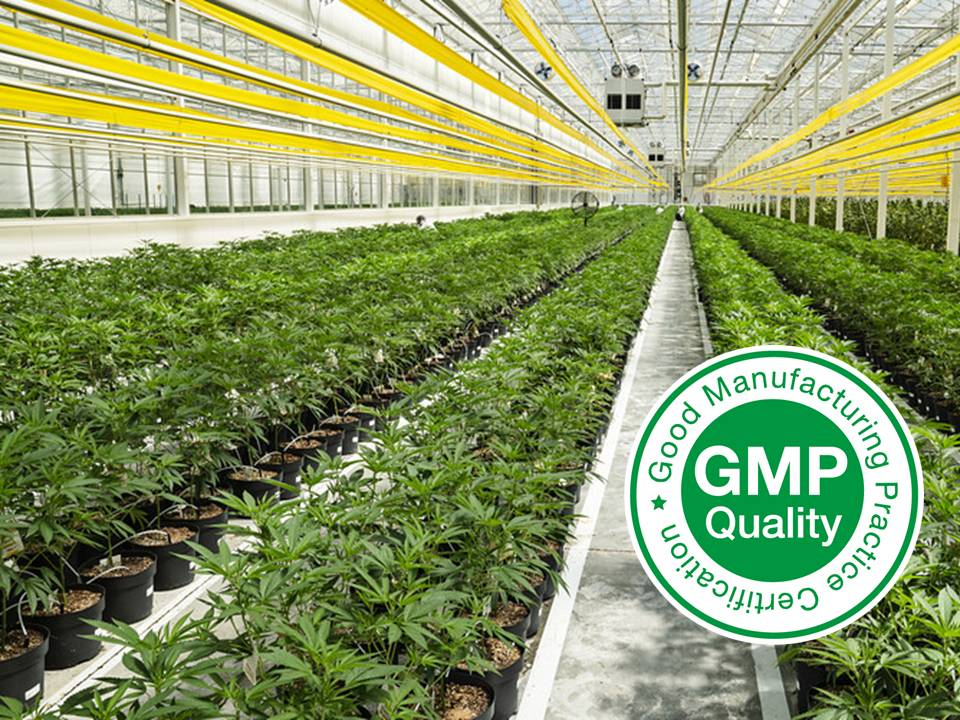 Invernadero GMP de Cannabis medicinal